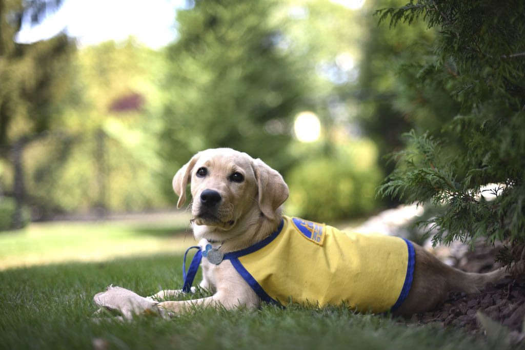 """""""Fers"""" takes a break to relax after training by Nick Despotidis and his wife Terri to become a service/therapy dog at their home in Manalapan, on Sep 17."""